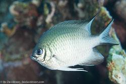 BD-120423-Fury-Shoal-6193-Amblyglyphidodon-leucogaster-(Bleeker.-1847)-[Whitebelly-damselfish].jpg